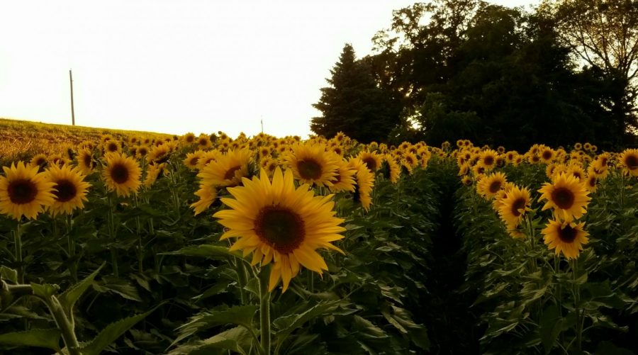 "Sunflowers are blooming in southern Minnesota as people from all across the state come together, taking pictures, and witnessing the beauty. Families from all over the midwest came to Albert Lea to take pictures and share their stories on the Fish Sunflowers Facebook page. ""The goal of this group is to spread sunshine and positivity,"